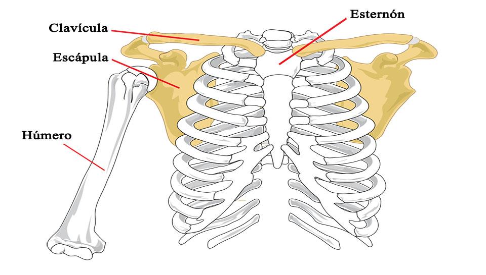La cintura escapular
